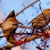 Pine Grosbeaks, females eating crab apples, Thomaston, Maine, winter, Knox county