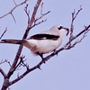Northern shrike with caterpillar, Maine