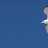 Ring Billed gull in flight, side view, right facing, left frame open for text, Phippsburg, Maine ocean bird in flight