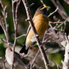 Evening grosbeak, male, perched looking right, Phippsburg Maine Maine, bird, nature, wildlife, photograph, photography