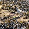 Spotted Sandpiper, migratory shore bird, PHippsbug, Maine
