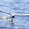 Herring gull flying from water Maine, bird, nature, wildlife, photograph, photography