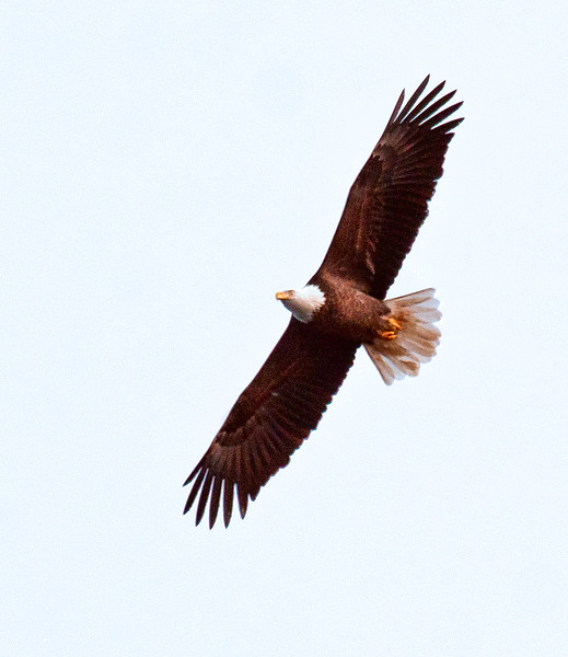 Bald eagle, adult in flight, Vinalhaven, Maine