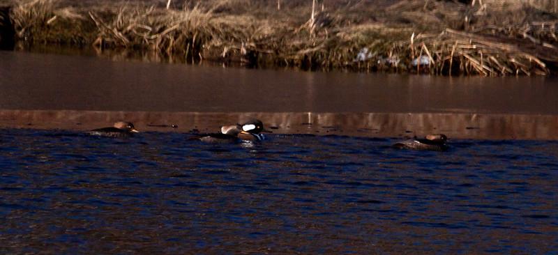 Hooded Mergansers, drakes and hens on ice edge, winter, Phippsburg Maine