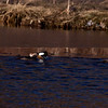 Hooded Mergansers, drakes and hens on ice edge, winter, Phippsburg Maine