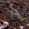 Brood parasitism at play. This is a Chipping sparrow female feeding a Brown Headed Cowbird chick that she raised as her own.   A rarely documented bird behavior, Phippsburg, Maine