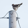Broad-winged Hawk, Buteo platypterus , May 2013, Phippsburg, Maine