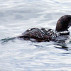 Yellow-billed loon, Casco Bay off from Portland, Maine Maine, bird, nature, wildlife, photograph, photography