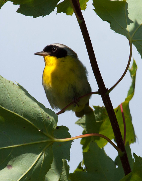 Yellowthroat warbler Geothlypis trichas, Common Yellowthroat Warbler, Geothlypis trichas.  ,  Common Yellowthroat warbler Geothlypis trichas