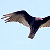 Turkey vulture, PHippsburg Maine