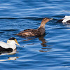 Common Atlantic Eiders, hen and drakes engaged in courting behaviors, Phippsburg, Maine spring seen, Totman Cove