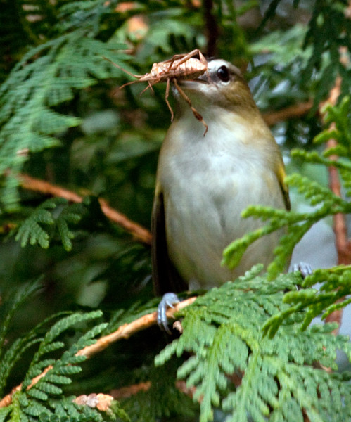 Red-eyed Vireo with Stink Bug food, Phippsburg Maine Maine, bird, nature, wildlife, photograph, photography