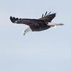 Adult Bald eagle in flight, Bath Maine December