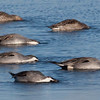 Northern Pintail ducks snorkelling for food