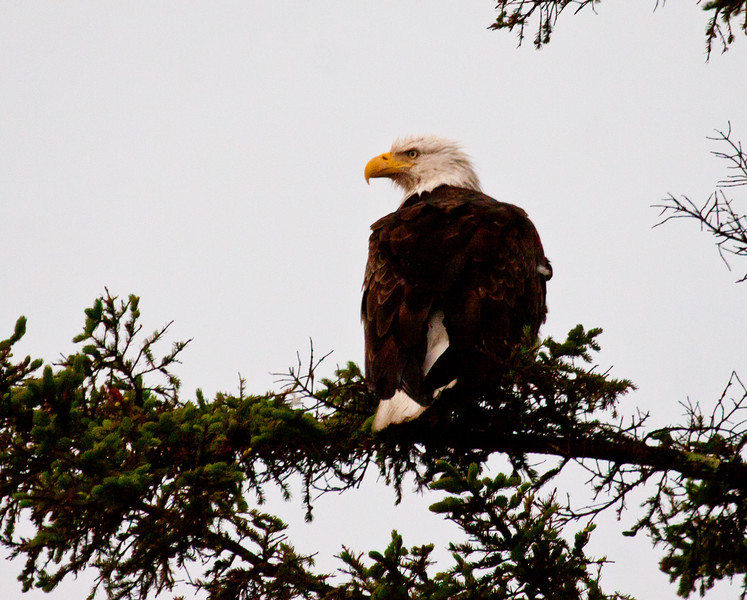 Adult Bald eagle perched in Black spruce tree, Totman Cove, Phippsburg Maine Maine, bird, nature, wildlife, photograph, photography
