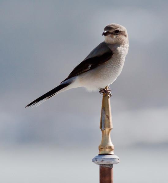 Northern Shrike perched on weathervane, Phippsburg Maine