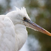 Great Egret head shot