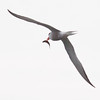 Common tern flying with fresh fish, summer, Phippsburg Maine, Totman Cove, Small Point Harbor, adult bird Maine, bird, nature, wildlife, photograph, photography