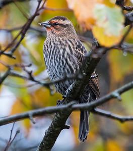 Red-winged Blackbird, female, late migrant, Phippsburg, Maine Oct 23, 2014
