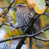 Red-winged Blackbird, female, late migrant, Phippsburg, Maine Oct 23, 2014