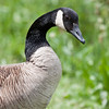 Canada goose close up, looking right, Phippsburg, Maine Maine, bird, nature, wildlife, photograph, photography