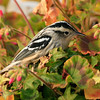 Black and White warbler, fall migration, Phippsburg, Maine