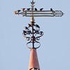 European Starlings perched on antique weathervane, Green Street church, Thomaston Maine