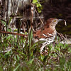 Brown Thrasher with caterpillar, Phippsburg Maine Hermit Island Maine, bird, nature, wildlife, photograph, photography