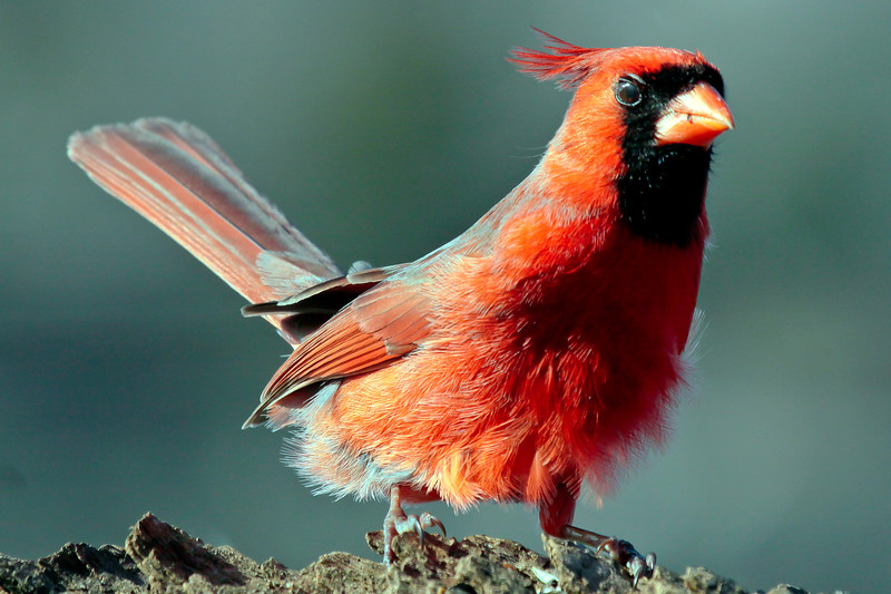 red male Northern cardinal close up, right facing, Phippsburg, Maine Maine, bird, nature, wildlife, photograph, photography