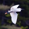 Snowy Egret, close up, fishing and catching fish, Phippsburg, Maine migratory shore bird