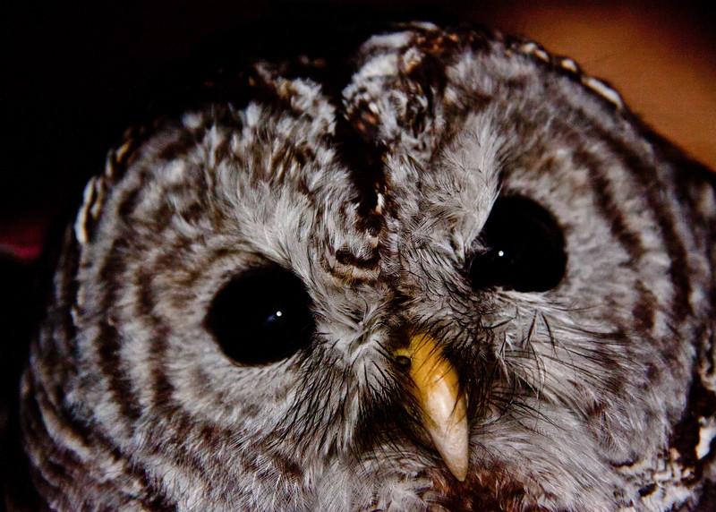 Barred owl face close up, Maine Maine, bird, nature, wildlife, photograph, photography