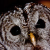 Barred owl face close up, Maine Maine, bird, nature, wildlife, photograph, photography