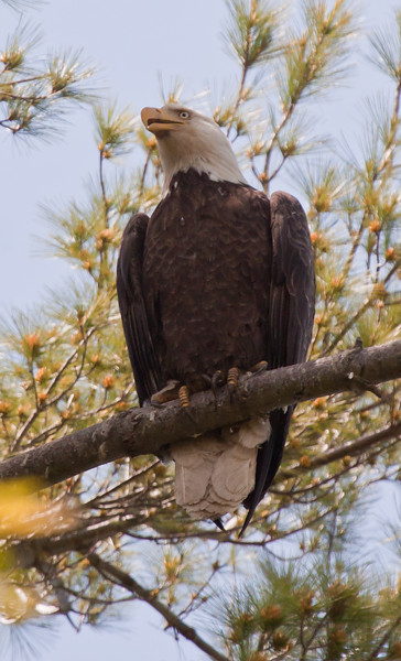 Bald eagle adult with his bill slightly open looking left, Phippsburg Maine. perched in a White Pine tree