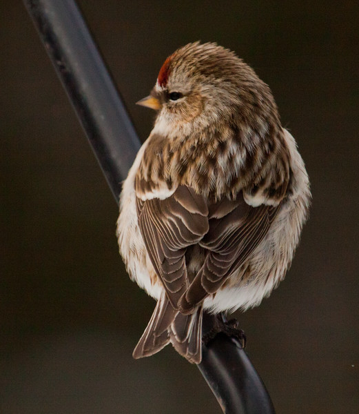 Common redpoll male on feeder