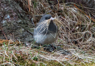 Dark-eyed junco, male collecting nest material of dried grass, Phippsburg, Maine April 28, 2015