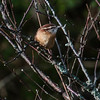 Carolina Wren, Phippsburg Maine during fall migration
