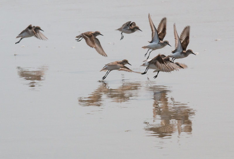 Sanderlings in flight, International Shorebird Survey, July 26, 2014, Seawall Beach, Phippsburg, Maine. Migratory shorebirds staging for migration, July 26, 2014, Seawall Beach, Phippsburg Maine. Most of these birds were Semi-palmated Sandpipers, Semi-Palmated plovers and Sanderlings.