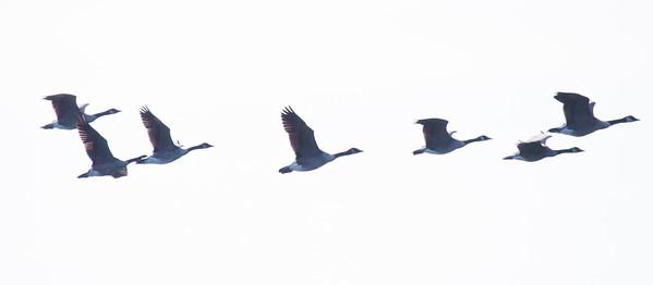 Canada geese in flight ribbon, PHippsburg, Maine Maine, bird, nature, wildlife, photograph, photography