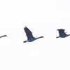 Canada geese in flight ribbon, PHippsburg, Maine Maine, bird, nature, wildlife, photograph, photography
