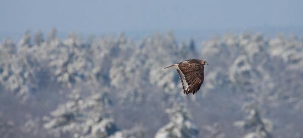 Red-tailed hawk in flight, Bath, Maine December