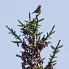 Crossbill, Phippsburg Maine Maine, bird, nature, wildlife, photograph, photography