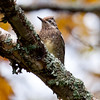 Yellow Bellied sapsucker on birch branch encrusted with lichens, Phippsburg Maine Maine, bird, nature, wildlife, photograph, photography