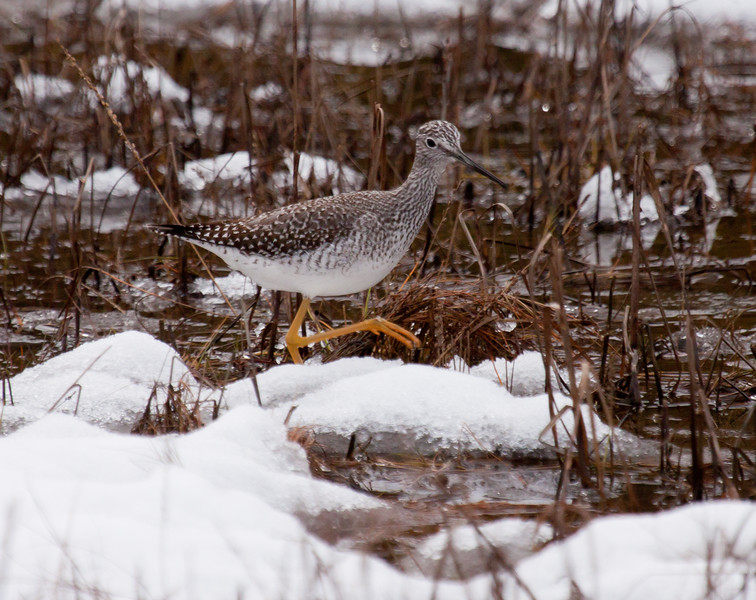 Greater Yellowlegs in snow, Phippsburg Maine October 30, 2011