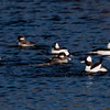 Cavorting Bufflehead ducks, three hens and three drakes