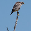 Red-shouldered Hawk, Buteo lineatus photographed in The Everglades National Park, Flamingo. Red-shouldered hawks are not rare in Maine, though uncommon. They are a migratory raptor in Maine. The south Florida variety is  a slightly paler version of those seen in Maine in summer.