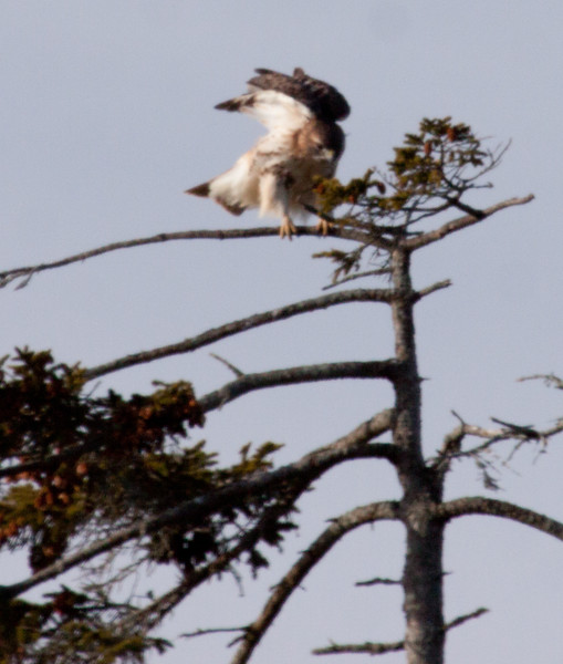 Red-tailed hawk, tree, perched, Phippsburg Maine
