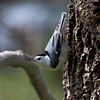White Breasted Nuthatch, a small, tree creeping bird that eats insects from bark and also feeder seed, Phippsburg, Maine, side view, left facing