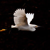 Snowy egret in flight, wings up, right facing, coastal Maine Phippsburg, July Maine, bird, nature, wildlife, photograph, photography