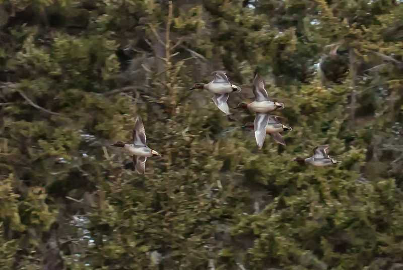 Flock of Green Winged Teal ducks in flight, Phippsburg, Maine