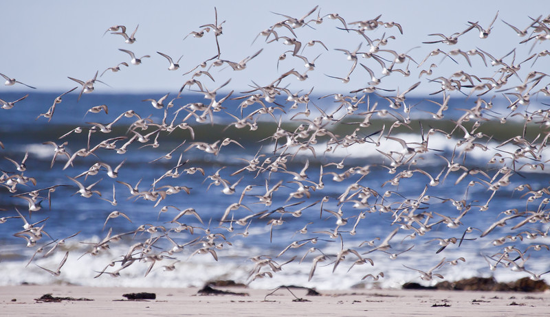 Shore birds taking flight, Popham Beach State Park, Phippsburg Maine, mixed migratory flock of sandpipers, polvers, sanderlings, etc. Maine, bird, nature, wildlife, photograph, photography